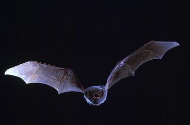 Schreiber's long fingered bat (Miniopterus schreibersii) flying from cave, France  -  Inaki Relanzon/ npl