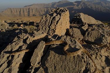 Oman saw-scaled, carpet Viper (Echis omanensis) in habitat, Al Wadi Bih, Musundam Plateau, Oman April 2008  -  Tony Phelps/ npl