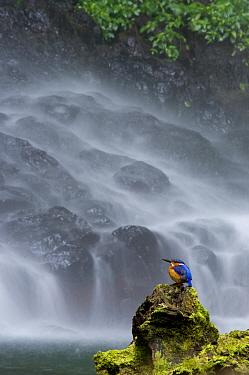 Madagascar Malachite kingfisher (Alcedo vintisioides) Cascade sacree, The sacred waterfall, Montagne d'Ambre National Park, North Madagascar  -  Inaki Relanzon/ npl