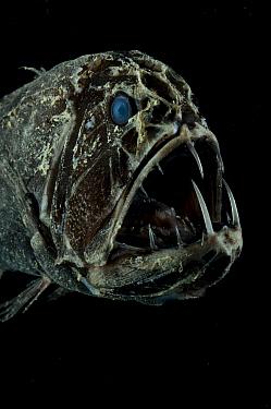 Fang Tooth (Anoplogaster cornuta) close-up of head showing teeth, from the Mid-Atlantic Ridge, 2600m  -  David Shale/ npl
