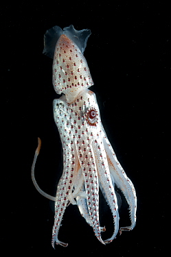 Deepsea squid (Histioteuthis bonellii) showing chromatophores changing colour, from the Mid-Atlantic Ridge, 200, 50m  -  David Shale/ npl