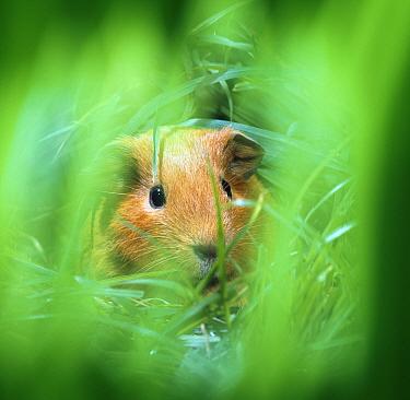 Golden Guinea pig in long grass  -  Jane Burton/ npl