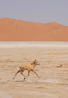 Arabian oryx (Oryx leucoryx) calf being released into the wild after captivity, Abu Dhabi  -  Hanne & Jens Eriksen/ npl