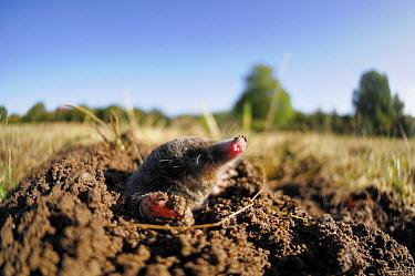 European Mole (Talpa europaea) emerging from its molehill, Germany Live, captive animal  -  Solvin Zankl/ npl