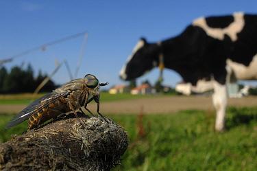 Horsefly (Tabanus bovinus) near a domestic cow, Switzerland  -  Laurent Geslin/ npl