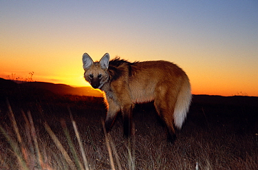Maned wolf (Chrysocyon brachyurus) in its natural habitat, at sunset, the grasslands of the Brazilian Cerrado, Serra da Canastra National Park, Minas Gerais State, Brazil  -  Luiz Claudio Marigo/ npl