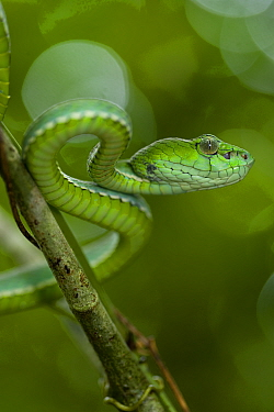 Pope's pit, tree viper (Trimeresurus popeorum) in lowland forest Danum Valley, Sabah, Borneo, Malaysia  -  Nick Garbutt/ npl