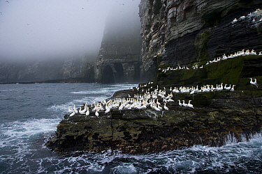 Northern gannets (Morus bassanus) on promontary, Noss Island, Bressay, Shetland Islands, Scotland, UK  -  Juan Carlos Munoz/ npl