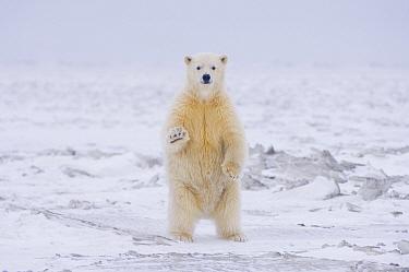 Polar bear (Ursus maritimus) curious cub stands on newly formed autumn pack ice, off Barter Island the the Arctic National Wildlife Refuge, Alaska  -  Steven Kazlowski/ npl