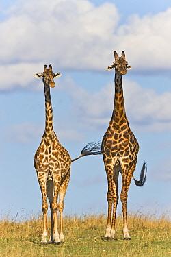 Masai Giraffe (Giraffa camelopardalis tippelskirchi) male and female, Masai Mara National Reserve, Kenya, Africa  -  Ingo Arndt/ npl