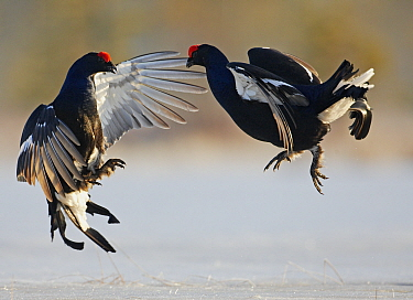 Black Grouse (Tetrao tetrix) two males fighting, Liminka, Finland, March  -  Markus Varesvuo/ npl