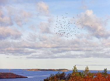 Bohemian waxwing (Bombycilla garrulus) migrating flock in flight over coast, Hanko, Finland, November 2008  -  Markus Varesvuo/ npl