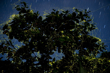 Night shot of Laciola species fireflies in their thousands flying about within a single wild almond or coastal catappa tree Talisay (Terminalia catappa) Camarines Sur, Luzon, Philippines 2008 Finalist...  -  Jurgen Freund/ npl