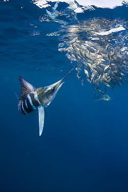 Striped marlin (Tetrapturus audax) feeding on baitball of Sardines (Sardinops sagax) off Baja California, Mexico  -  Doug Perrine/ npl