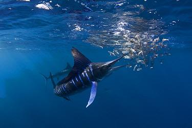 Striped marlin (Tetrapturus audax) feeding on baitball of Sardines (Sardinops sagax) off Baja California, Mexico #4 in sequence of 7  -  Doug Perrine/ npl