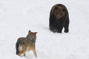 European grey wolf (Canis lupus) and European brown bear (Ursus arctos) captive, Switzerland, February  -  Laurent Geslin/ npl