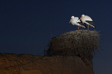 White stork (Ciconia ciconia) pair at nest at night, Marrakech, Morocco, January  -  Laurent Geslin/ npl