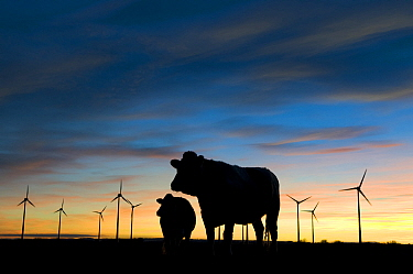 Silhouette of Cattle with wind farm in background, nr Donna Nook, Lincolnshire, UK,  -  Laurent Geslin/ npl