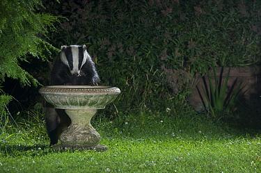 Badger (Meles meles) drinking from garden bird bath, Europe, July 2008  -  Laurent Geslin/ npl