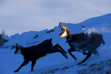 Chamois (Rupicapra rupicapra) mother and juvenile running in snow, La Dole, Jura mountains, Switzerland, January Not for sale to magazines  -  Laurent Geslin/ npl