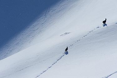 Chamois (Rupicapra rupicapra) running through snow, La Dole, Jura mountains, Switzerland, January 2009  -  Laurent Geslin/ npl
