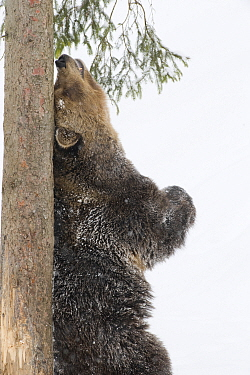 European brown bear (Ursos arctos) rubbing back against tree trunk in snow, captive, Switzerland, February  -  Laurent Geslin/ npl