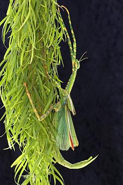 Goliath stick insect (Eurycnema goliath) female clinging to cluster of eucalyptus leaves, Central Queensland, Australia, July  -  Steven David Miller/ npl