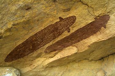 Quinkan-style Aboriginal rock art at the Wallaroo Aboriginal Rock Art Shelter, Jowabinna Rock Art Safari Camp, Cape York, Queensland, Australia  -  Steven David Miller/ npl