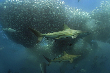 Copper sharks, Bronze whaler (Carcharhinus brachyurus) and Little eastern tuna (Euthynnus affinis) feeding on a baitball of Sardines, Pilchards (Sardinops sagax) during the annual Sardine Run off the...  -  Doug Perrine/ npl