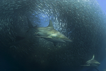 Copper sharks, Bronze whaler (Carcharhinus brachyurus) feeding on a baitball of Sardines, Pilchards (Sardinops sagax) during the annual Sardine Run off the east coast of South Africa at Mboyti, Transk...  -  Doug Perrine/ npl