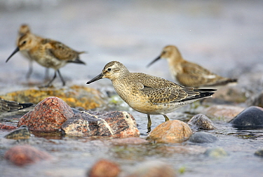 Knot (Calidris canutus) flock on shoreline, Hanko, Finland, September  -  Markus Varesvuo/ npl