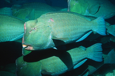 Bumphead parrotfish (Bolbometopon muricatum) Malaysia  -  Georgette Douwma/ npl