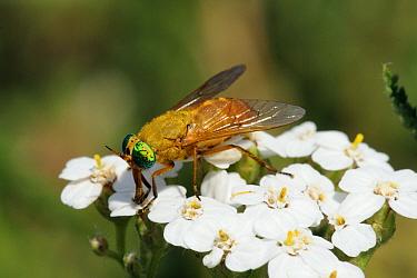 Deer fly (Silvius alpinus) with green eyes nectar feeding from flowers, Pyrenees, Spain  -  Nick Upton/ npl