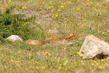 Male Cape cobra (Naja nivea) basking by burrow, deHoop Nature reserve, Western Cape, South Africa  -  Tony Phelps/ npl