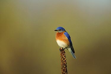 Eastern bluebird (Sialia sialis) male in breeding plumage, Tallgrass Prairie WR, Wisconsin, USA, May  -  Thomas Lazar/ npl
