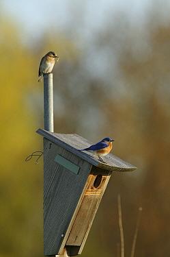 Eastern bluebird (Sialia sialis) pair in breeding plumage perched on nest box, female above, Tallgrass Prairie WR, Wisconsin, USA, May  -  Thomas Lazar/ npl