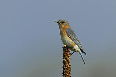 Eastern bluebird (Sialia sialis) female in breeding plumage, Tallgrass Prairie WR, Wisconsin, USA, May  -  Thomas Lazar/ npl