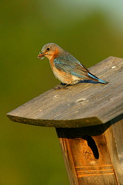 Eastern bluebird (Sialia sialis) female in breeding plumage perched on nestbox with insect prey for chicks, Tallgrass Prairie WR, Wisconsin, USA, June  -  Thomas Lazar/ npl