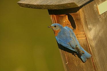 Eastern bluebird (Sialia sialis) male in breeding plumage perched on nestbox, Tallgrass Prairie WR, Wisconsin, USA, June  -  Thomas Lazar/ npl