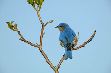 Eastern bluebird (Sialia sialis) male in breeding plumage perched on nestbox sumac tree, Tallgrass Prairie WR, Wisconsin, USA, May  -  Thomas Lazar/ npl