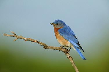 Eastern bluebird (Sialia sialis) male in breeding plumage perched, Tallgrass Prairie WR, Wisconsin, USA, June  -  Thomas Lazar/ npl