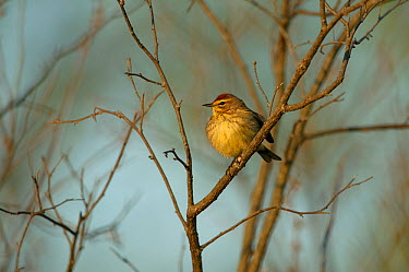 Palm warbler (Dendroica palmarum) adult in breeding plumage perched, Wisconsin, USA, May  -  Thomas Lazar/ npl