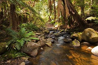 Eucalypt forest with stream, Yarra Ranges National Park, Healesville, Victoria, Australia  -  Steven David Miller/ npl