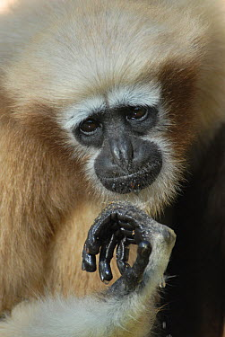 Western hoolock gibbon (Hoolock hoolock) female, captive, Aizawl Zoological Park, Mizoram, India  -  Ian Lockwood/ npl