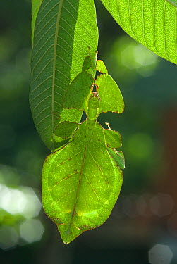 Leaf insect (Phyllium bioculatum) mature female camouflaged on leaf, Sri Lanka  -  Ian Lockwood/ npl
