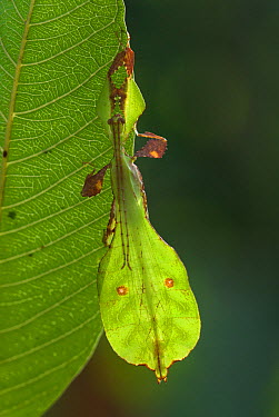 Leaf insect (Phyllium bioculatum) mature male camouflaged on leaf, Sri Lanka  -  Ian Lockwood/ npl