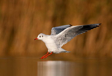 Black-Headed Gull (Chroicocephalus ridibundus) in winter hood-less plumage, coming in to land on water Scotland, November  -  Peter Cairns/ npl