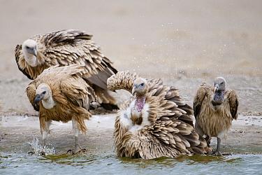 Eurasian Griffon (Gyps fulvus) Himalayan Griffon (Gyps himalayensis) and Long-billed Vulture (Gyps indicus) Rajasthan, India  -  Bernard Castelein/ npl