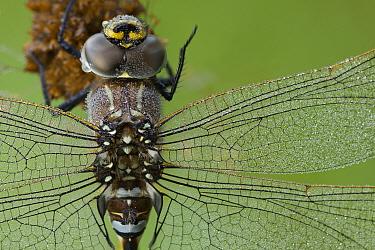 Common Hawker (Aeshna juncea) close up of eyes and wings, Wuustwezel, Belgium  -  Bernard Castelein/ npl