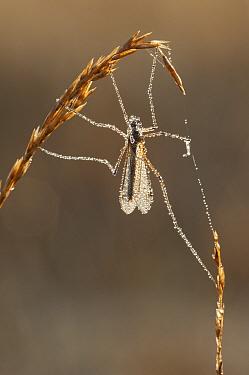 Daddy long-legs (Tipula species) covered in dew, Brasschaat, Belgium, April  -  Bernard Castelein/ npl